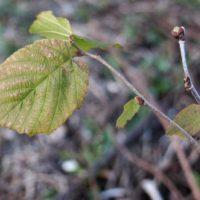 茶道の枝ものハシバミ