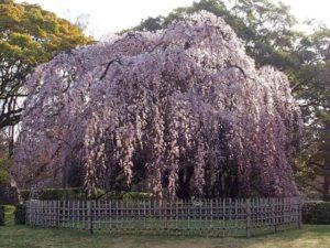 糸桜 4月茶杓の銘