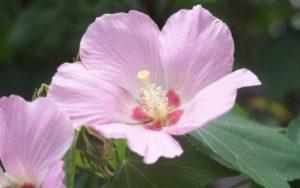 8月の茶杓の銘 芙蓉